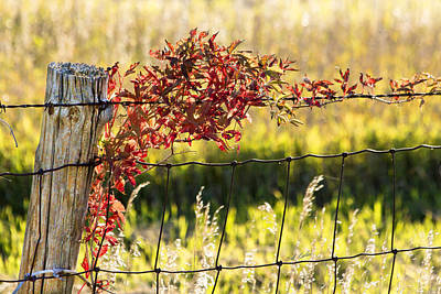 Photograph - Wild Vine On The Line by Bill Kesler