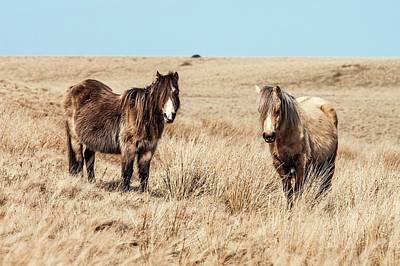 Wild Welsh Ponies Art Print