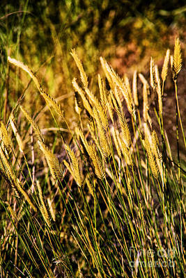 Photograph - Wild Wheat by Rick Bragan