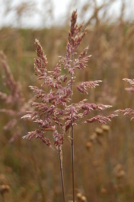 Photograph - Wild Wheat by Tamyra Crossley