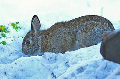 Photograph - Wild Winter Rabbit by Al Fritz