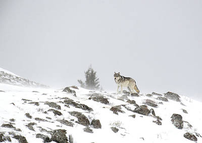 Photograph - Wild Wolf In Winter by Deby Dixon