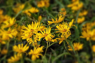 Photograph - Wild Yellow Daisies by Susan D Moody