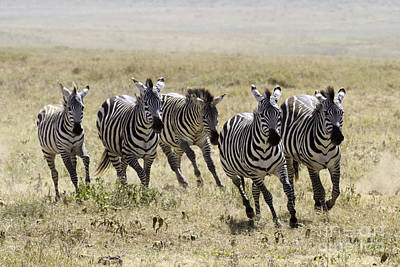 Photograph - Wild Zebras Running  by Chris Scroggins