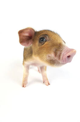 Angle Fishes Photograph - Wildboar Piglet by John Daniels