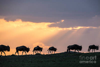 Photograph - Wildebeest Migrating In Single File by Greg Dimijian