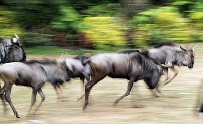 Wildebeest Running Art Print by Pan Xunbin