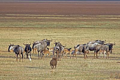 Photograph - Wildebeest by Tony Murtagh