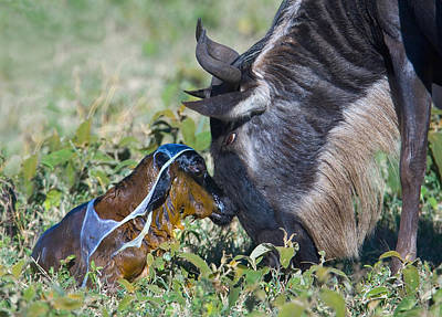 Wildebeest With Its Newborn Calf Lying Art Print by Panoramic Images