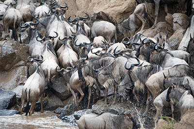 Crowd Scene Photograph - Wildebeests Crossing A River, Mara by Panoramic Images