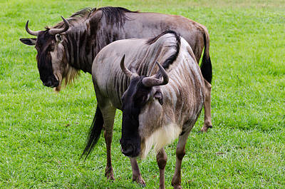 Photograph - Wildebeests by Maureen E Ritter