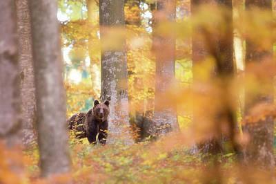 Brown Bear Wall Art - Photograph - Wilderness by Sebastian Mastahac
