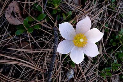 Photograph - Wildflower Among Pine Needles by Marilyn Burton