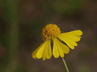 Photograph - Wildflower by Billy  Griffis Jr