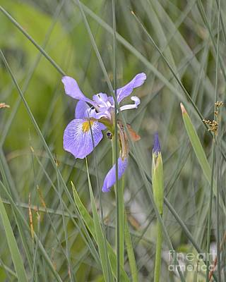 Photograph - Wildflower by Carol  Bradley