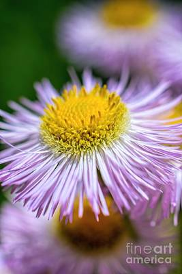 Wildflower - Fleabane - Robin's Plantain Art Print