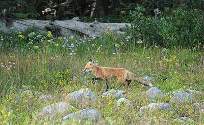 Photograph - Wildflower Fox by Angelique Rea