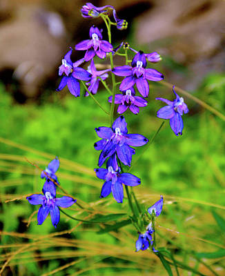 Wildflower Larkspur Art Print