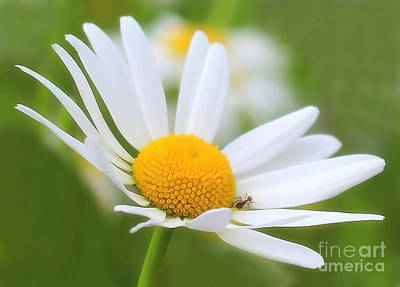 Photograph - Wildflower by Sylvia  Niklasson