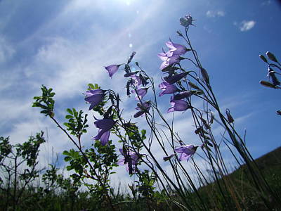 Photograph - Harebell And Summer Sky by Karen Rispin
