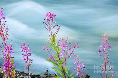 Canada Photograph - Wildflowers Along Glacial Stream by Oscar Gutierrez