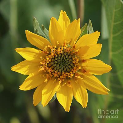 Photograph - Wildflowers - Carey's Balsamroot Closeup by Carol Groenen
