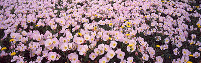 Pink Primroses Photograph - Wildflowers Galveston Tx Usa by Panoramic Images