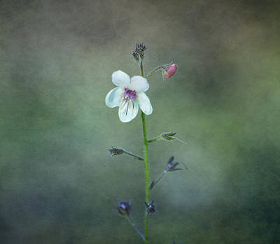 Photograph - Wildflowers - Moth Mullein by Deena Stoddard