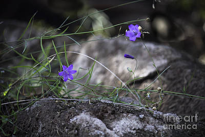 Wildflowers On Rocks Art Print