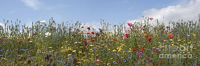 Mallow Photograph - Wildflowers Panoramic by Tim Gainey