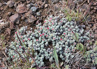Eriogonum Photograph - Wildflowers - Thyme-leaf Buckwheat by Carol Groenen