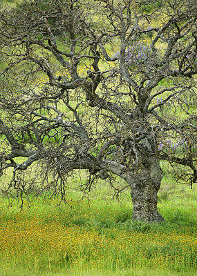 Wildflowers Under Oak Tree - Spring In Central California Art Print by Ram Vasudev