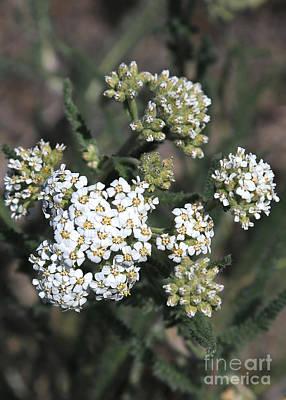 Yarrow Photograph - Wildflowers - White Yarrow by Carol Groenen