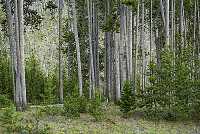 Wildland Growth From Fire In Yellowstone Original
