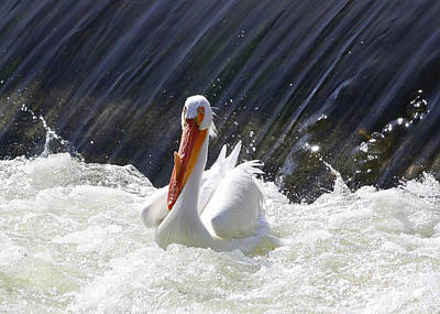 Photograph - Wildwater White Pelican by Carol Groenen