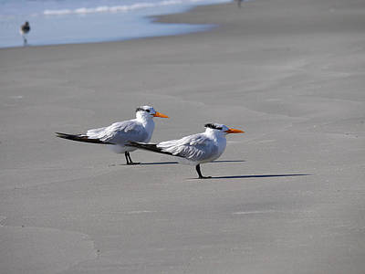 Photograph - Wildwood - Royal Terns by Richard Reeve