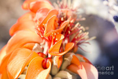 Photograph - Wiliwili - Erythrina Sandwicensis - Kahikinui Maui Hawaii by Sharon Mau