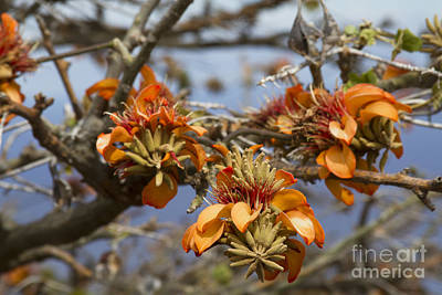 Photograph - Wiliwili Flowers - Erythrina Sandwicensis - Kahikinui Maui Hawaii by Sharon Mau