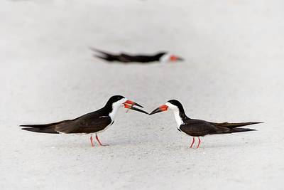 Black Skimmers Photograph - Will You Be Mine? by Don Schroder