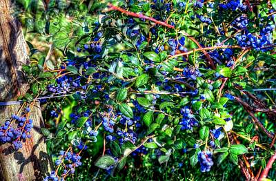 Jerry Sodorff Royalty-Free and Rights-Managed Images - Willamette Valley Blue Berries 17033 by Jerry Sodorff