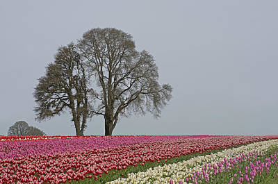Willamette Valley Tulips Art Print by Nick  Boren
