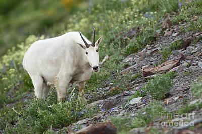 Photograph - Willard Goat by Bill Singleton