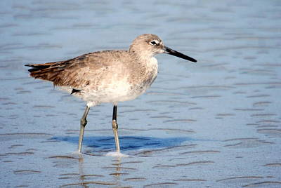 Photograph - Willet 003 by Larry Ward