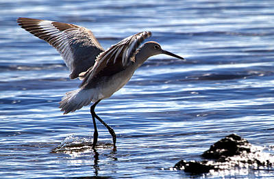 Bird Photograph - Willet Coming In To Land At Boca Chica Florida Keys by Mr Bennett Kent