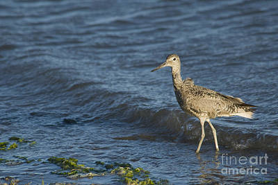 Photograph - Willet by Dan Suzio