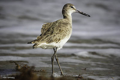 South Hutchinson Island Photograph - Willet by Fran Gallogly