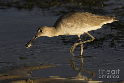 Photograph - Willet  by Meg Rousher