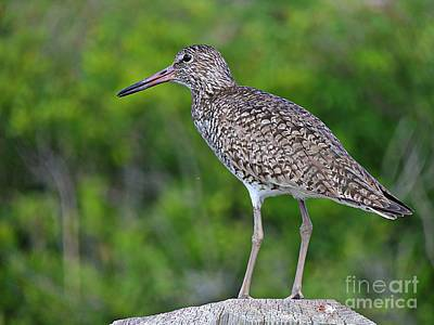 Photograph - Willet Shorebird by Marcia Lee Jones