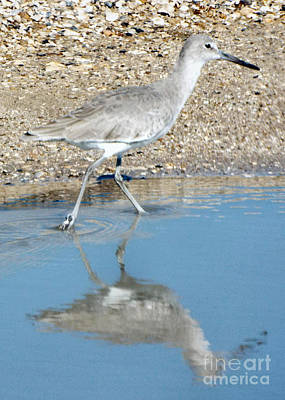 Photograph - Willet Walking by Audrey Van Tassell