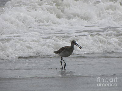Willet With A Catch Art Print by Gayle Melges